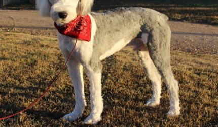 Standard Sheepadoodle Puppies For Sale Prairie Hill Puppies