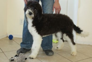 Mini Sheepadoodle Puppies For Sale Prairie Hill Puppies