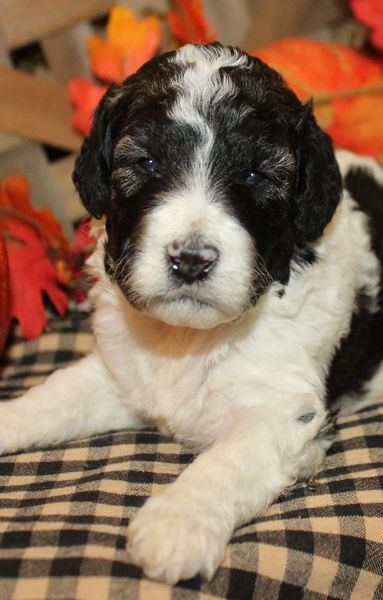 Sheepadoodle Puppy for sale
